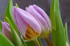 tulip009-002